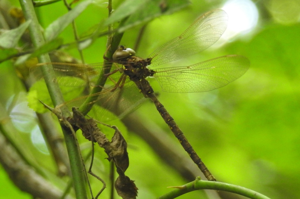 Fawn Darner at Pennypack Krewstown