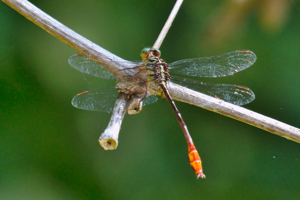 Russet-tipped Clubtail at John Heinz NWR